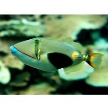 Peixe Marinho Bursa Triggerfish INDO MD/MGD (Rhinecanthus)