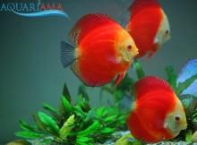 Peixe Acará Disco Red Melon (Symphysodon aequifasciatus)